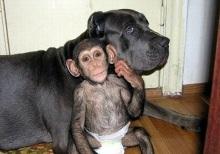chimpancé 1