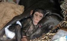 chimpancé 2