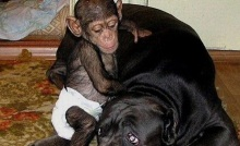 chimpancé 4