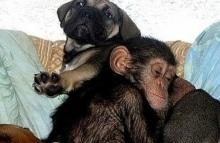 chimpancé 5