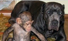 chimpancé 8